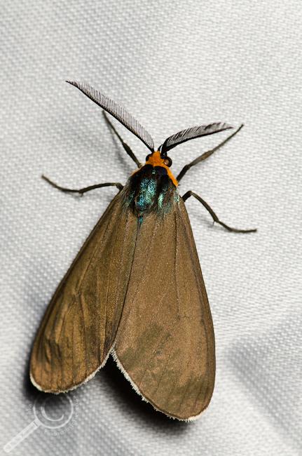 Virginia Ctenucha - Ctenucha virginica moth