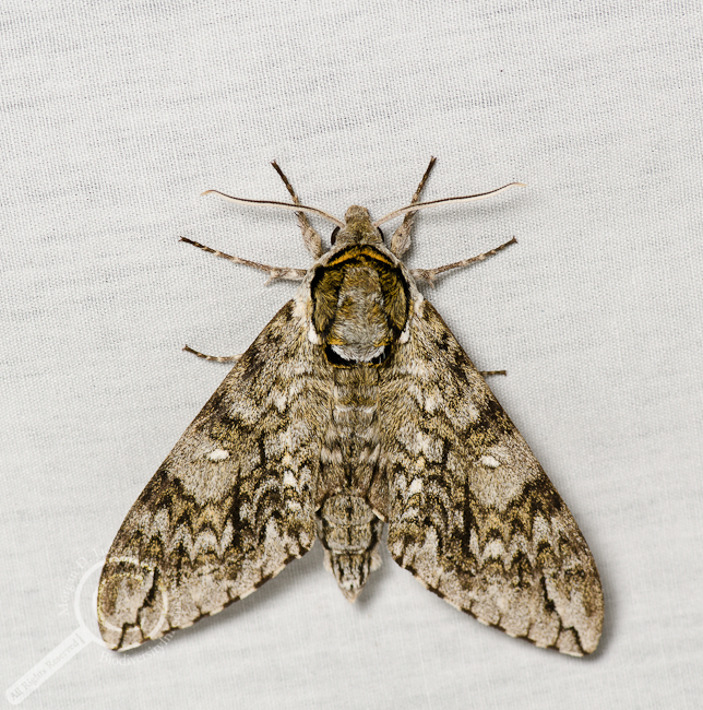 Waved Sphinx Moth - Ceratomia undulosa