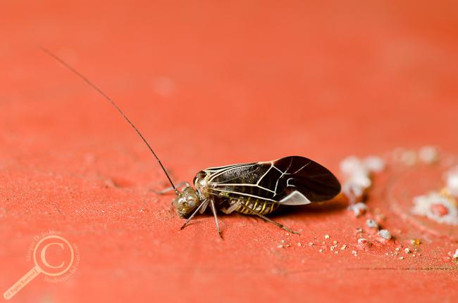 Cerastipsocus venosus Bancroft  Psocidae Barklice