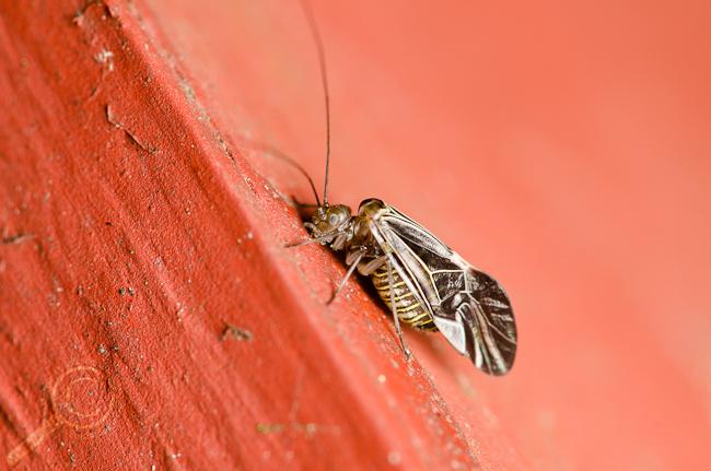 Cerastipsocus venosus Bancroft 3 Psocidae Barklice