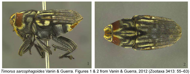 Timorus sarcophagoides habitus Weevil Vanin & Guerra