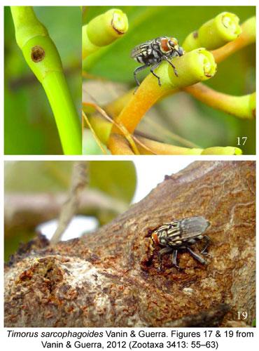 Timorus sarcophagoides weevil live shots Vanin & Guerra Zootaxa 2012