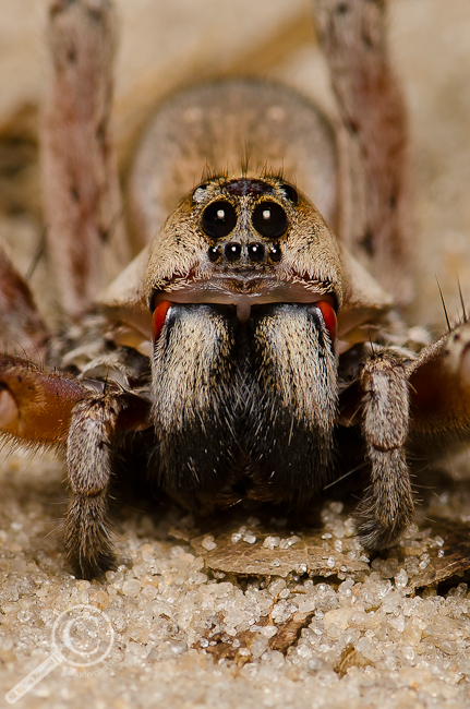 Hogna lenta group wolf spider portrait