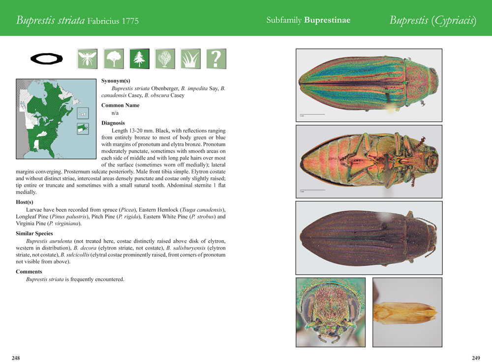 Buprestis striata species field guide page