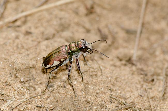 Cicindella scutellaris tiger beetle (Carabidae)