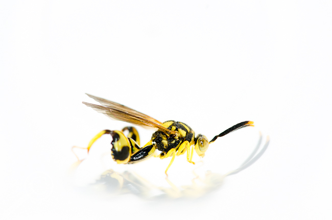 Conura sp. Chalcididae parasitic wasp