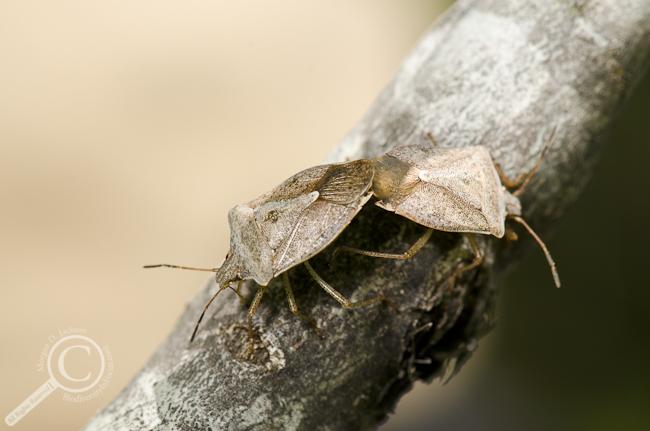 Euschistus servus stink bugs (Pentatomidae) mating