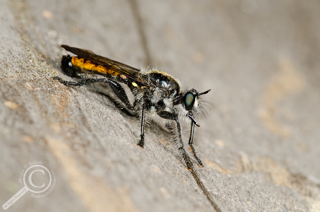 Laphria index Robber fly Asilidae