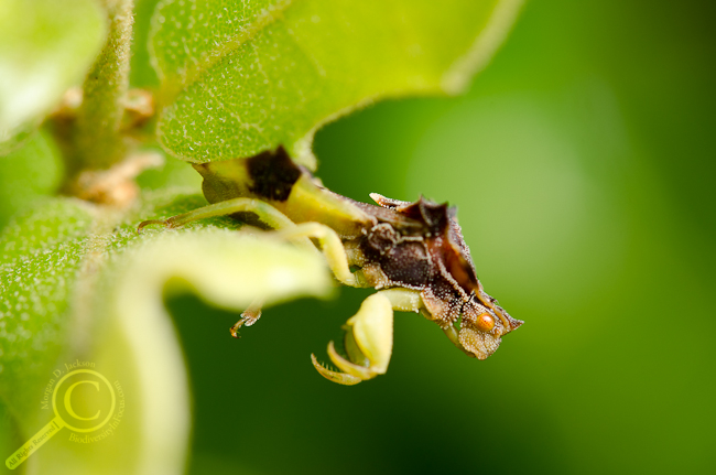 Phymatidae ambush bug waiting for dinner