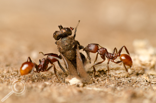 Ants carrying dead wasp