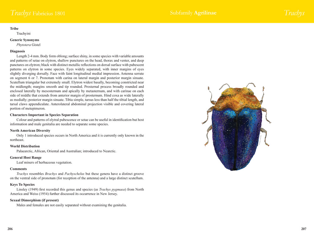 Trachys generic spread from Field Guide to Jewel Beetles