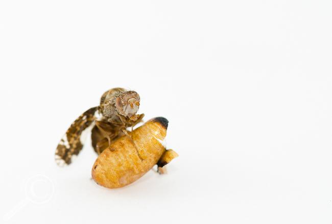 Triumphant Eurosta solidaginis fruit fly Tephritidae