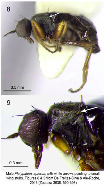 Platypalpus apterus Diptera Hybotidae