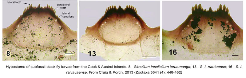 Cook-Islands-Simulium-Hypostoma