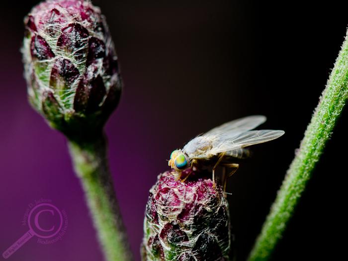 Neaspilota albidipennis
