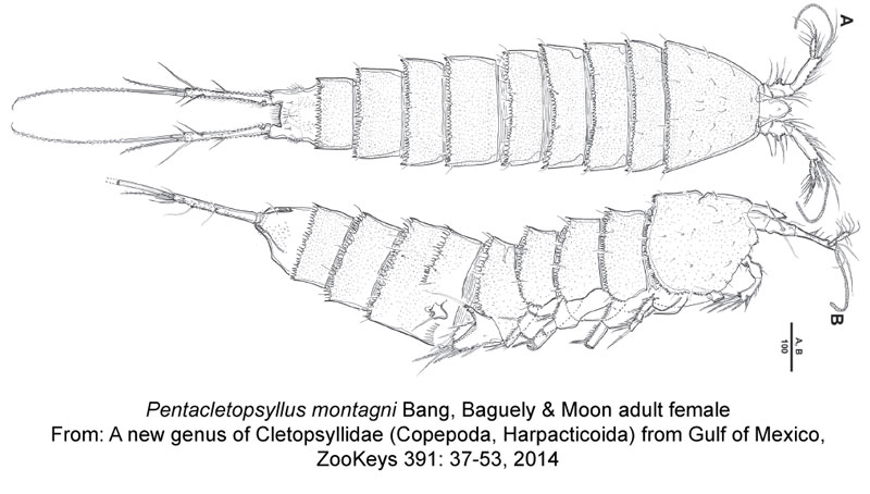 Pentacletopsyllus-montagni