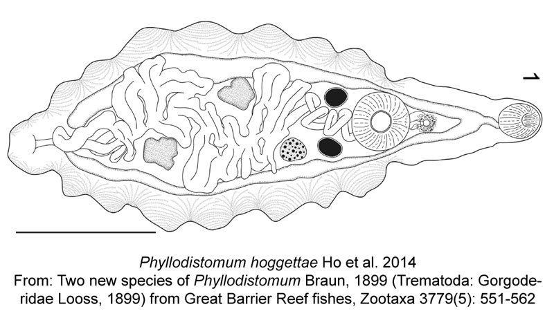 Phyllodistomum-hoggettae