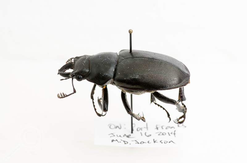 The escaped Lucanus stag beetle (Lucanidae), pinned, labelled, and ready for science.