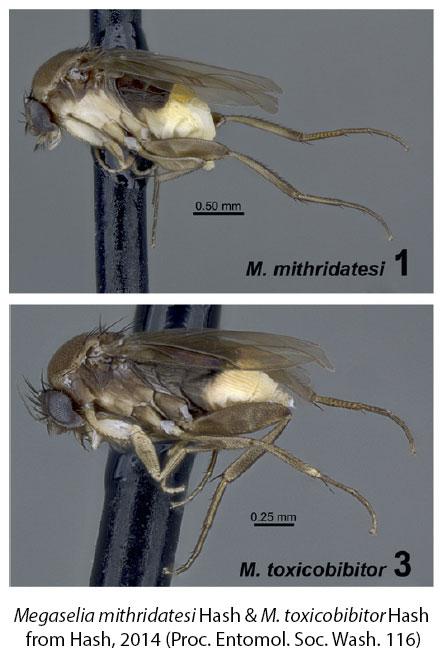 Megaselia