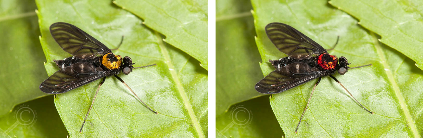 "Chrysopilus thoracicus from Ontario on the left, with its Tolkienian cousin Chrysopilus ""morgai"" on the right"