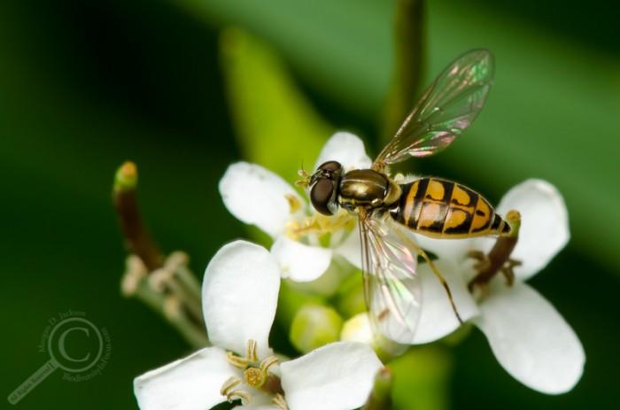 Toxomerus marginatus (Syrphidae)