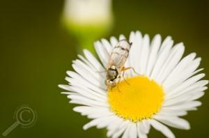 Urophora affinis (Tephritidae)