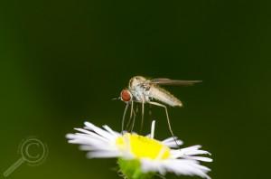 Geron sp. (Bombyliidae)